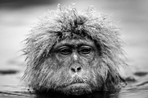 David Yarrow - Grumpy Monkey
