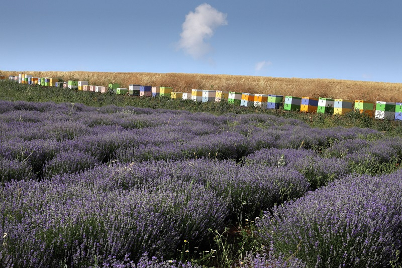 beehives & lavender farms
